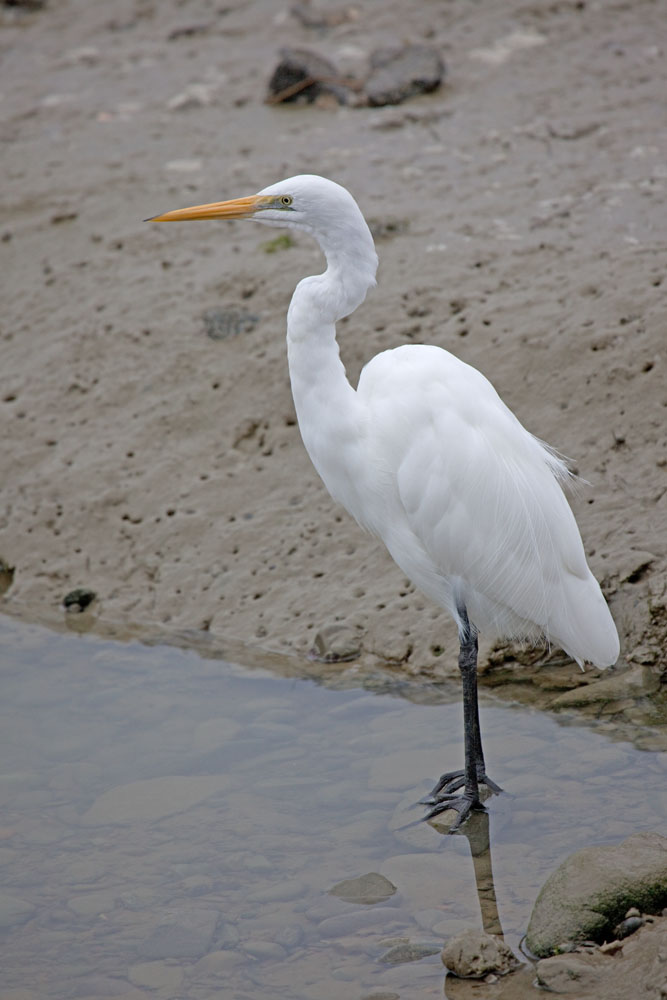 Egretta alba White heron, New Zealand