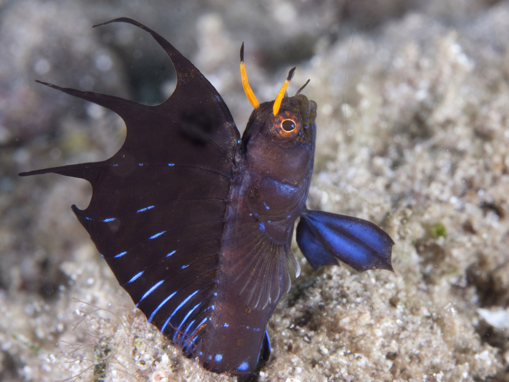 Make signal blenny photo of male displaying