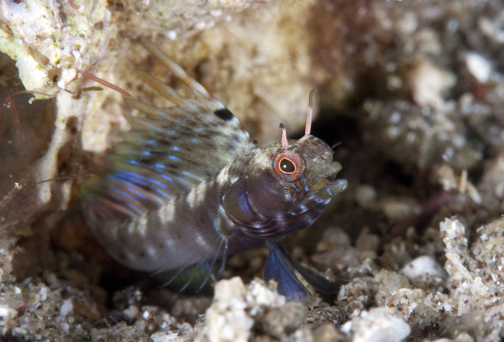 Gulf signal blenny outside hole