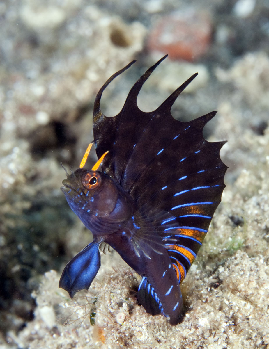 Male signal blenny displaying vertical photo