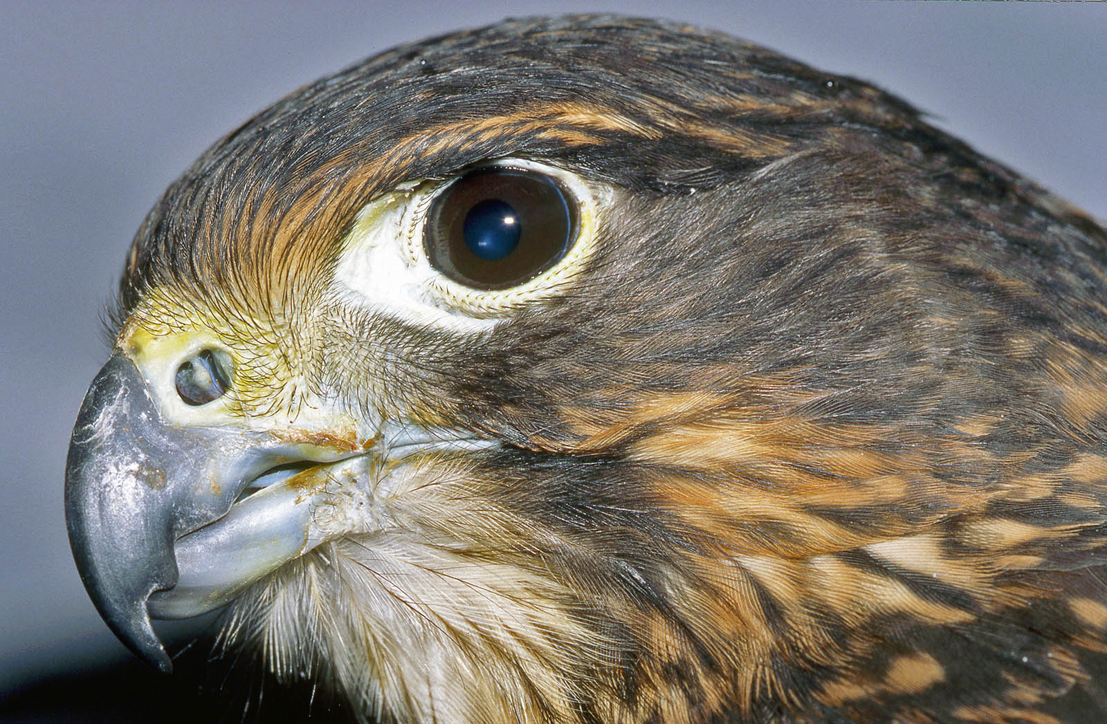 Falco novaeseelandiae New Zealand falcon, captive