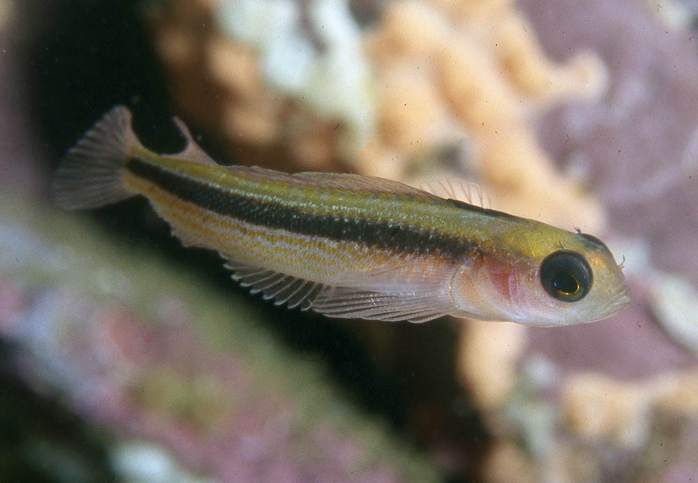 Forsterygion maryannae Oblique-swimming triplfin, swimming