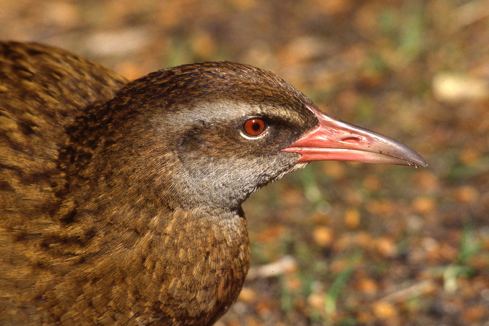 weka head shot