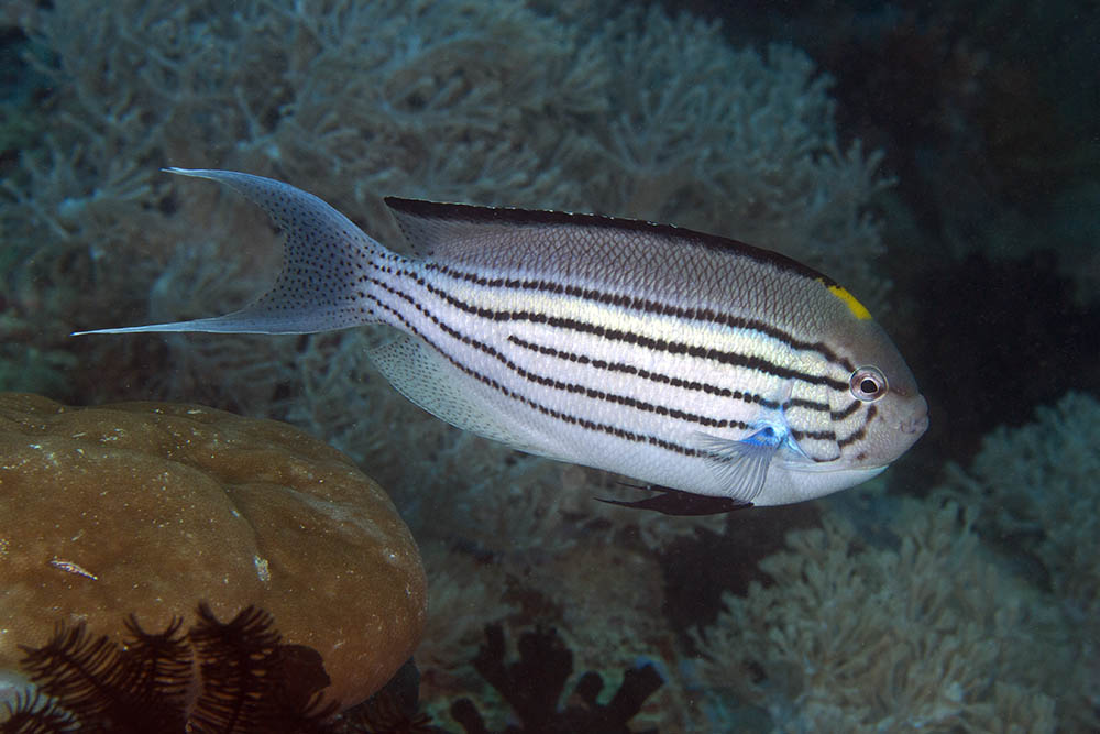 Genicanthus lamarck Blackstriped angelfish male, Puerto Galera, Philippines f
