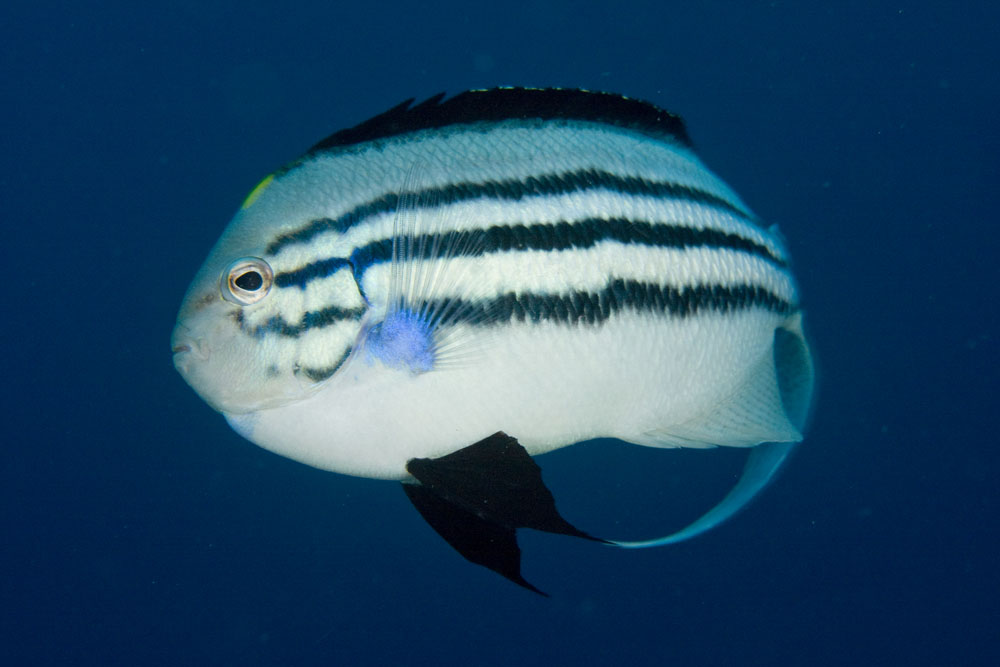 blackstriped angelfish male