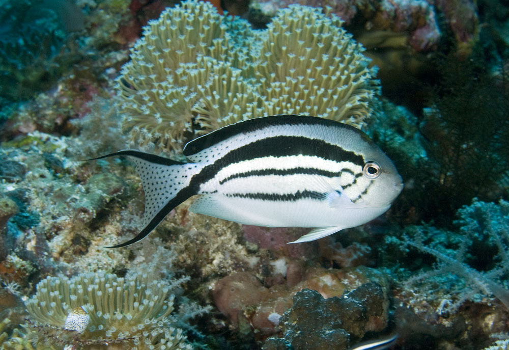 female blackstriped angelfish