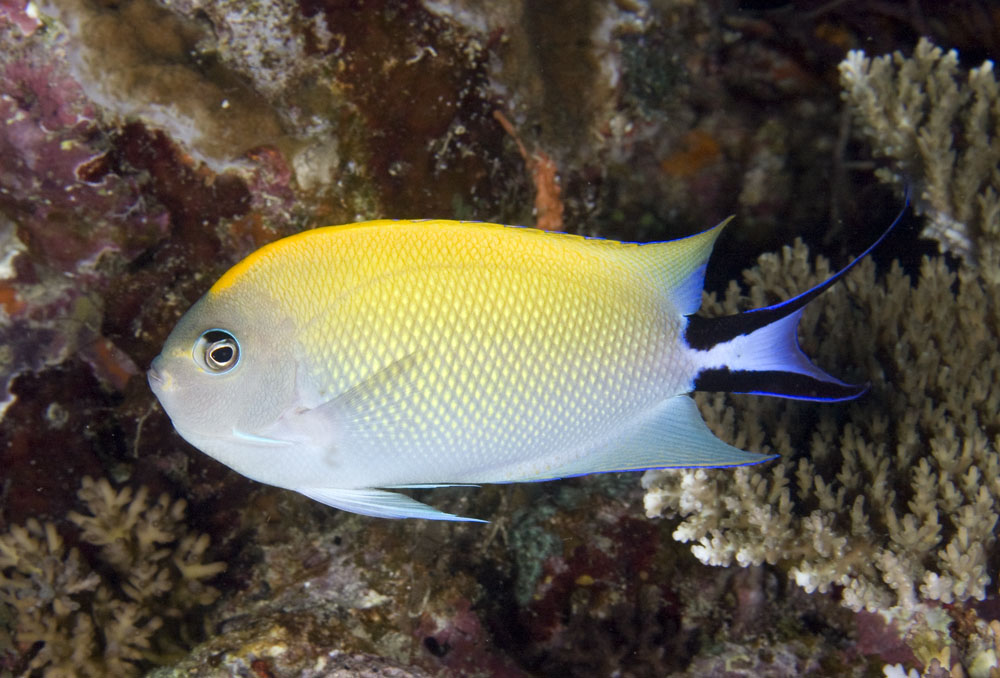 female blackspot angelfish