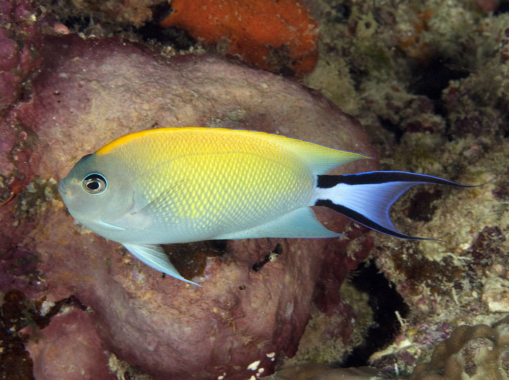 female black-spot angelfish