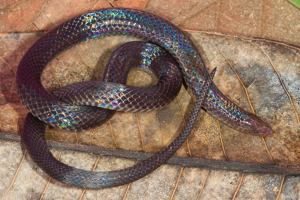 Geophis downsi Savage's earth snake Las Cruces Costa Rica