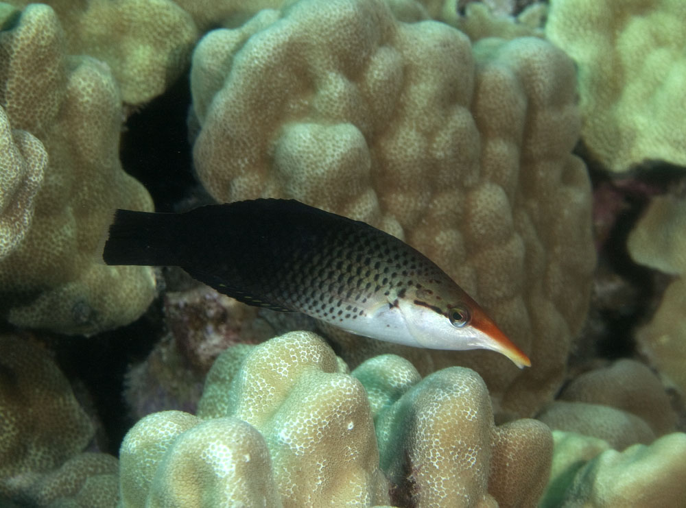 Bird wrasse intermediate phase photo