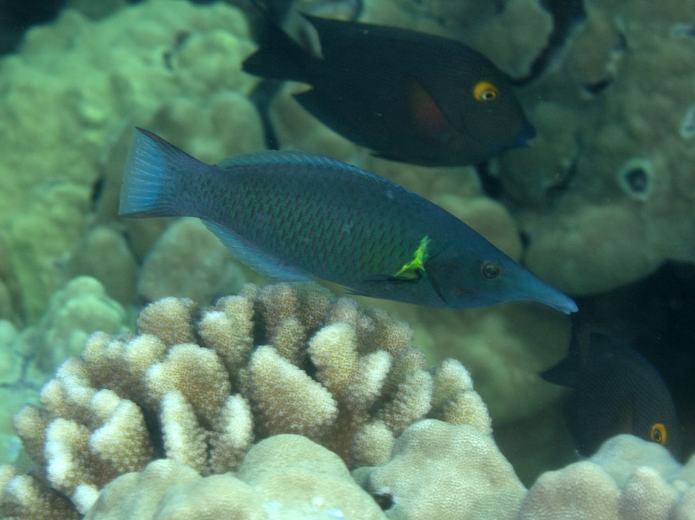 bird wrasse terminal phase photo