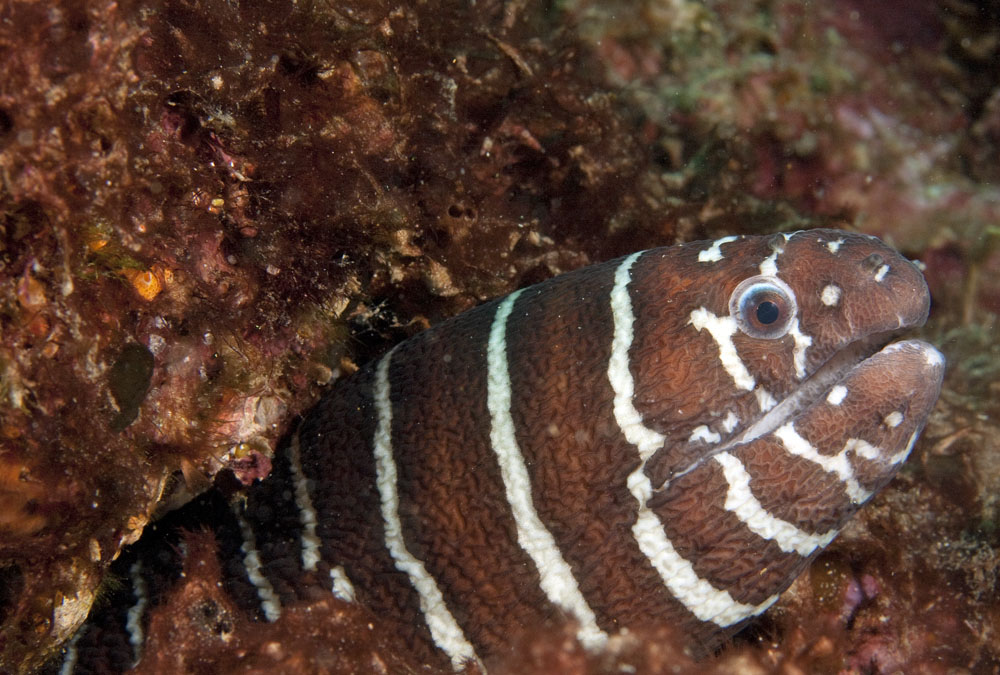 zebra moray photo
