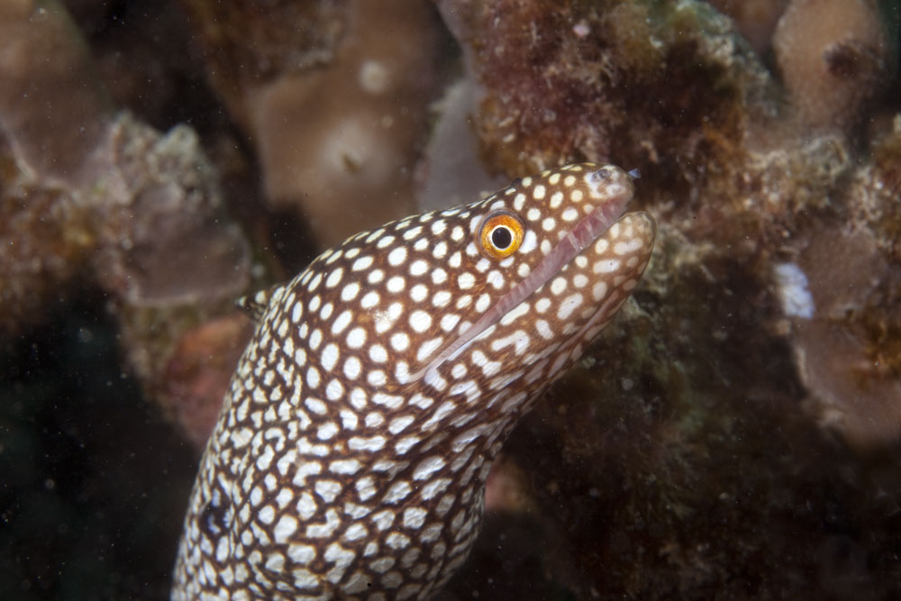 Abbott's moray photo