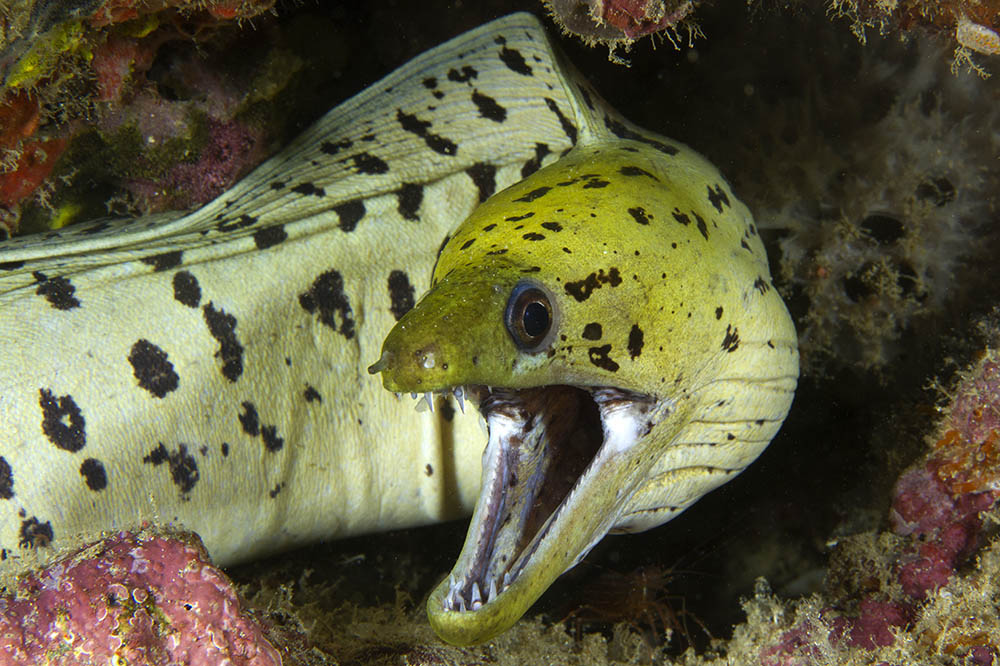Gymnothorax fimbriatus Fimbriated moray Puerto Galera, Philippines