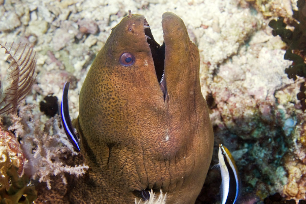 Yellowmargin moray being cleaned by cleaner fish