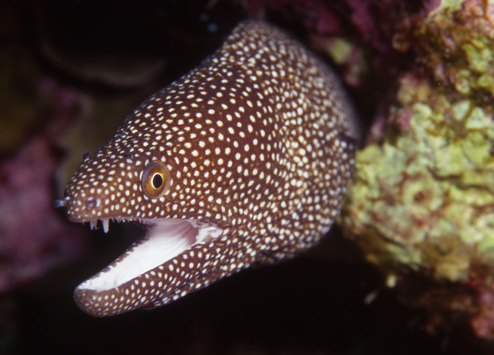 whitemouth moray photo