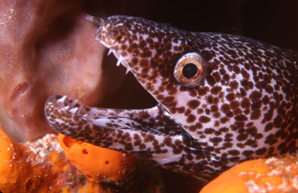 spotted moray photo