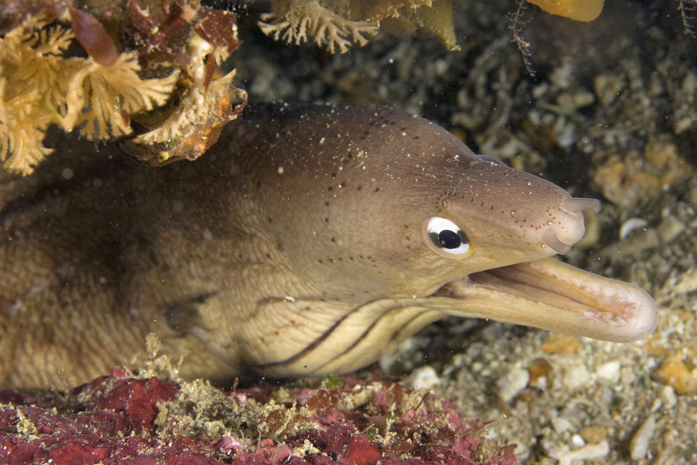 Grey moray eel