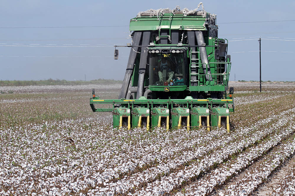 Harvesting cotton in Texas