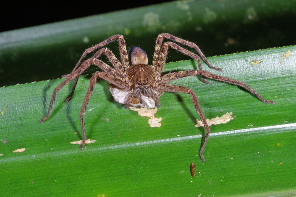 Female hunstman spider with egg sac