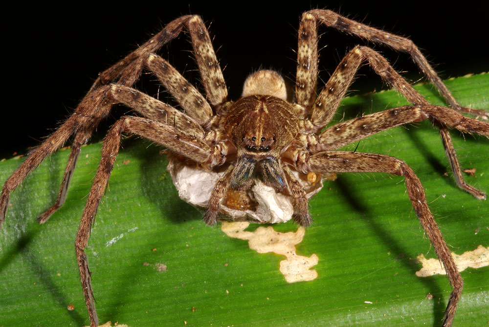Female hunstman (gaincrab) spider with egg sac, Fiji
