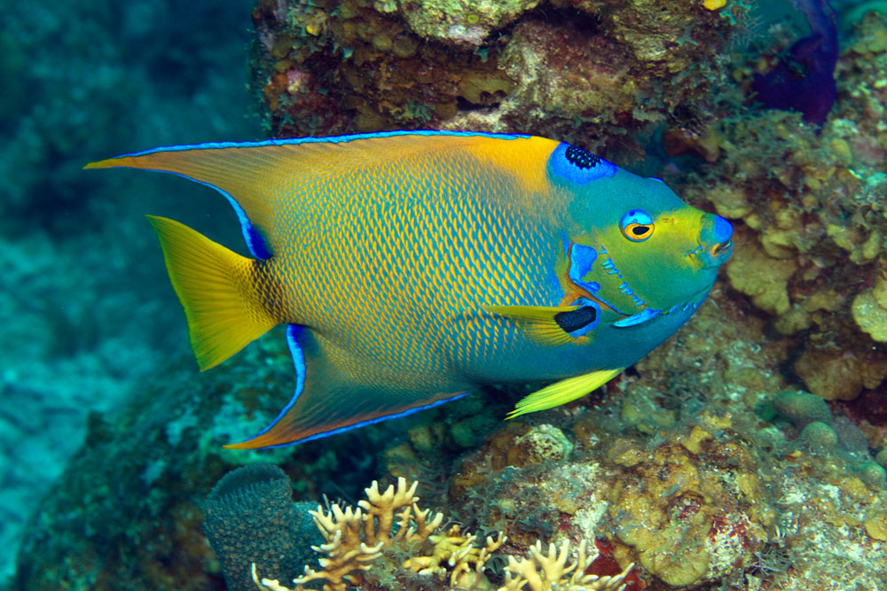 Holacanthus ciliaris, Queen angelfish