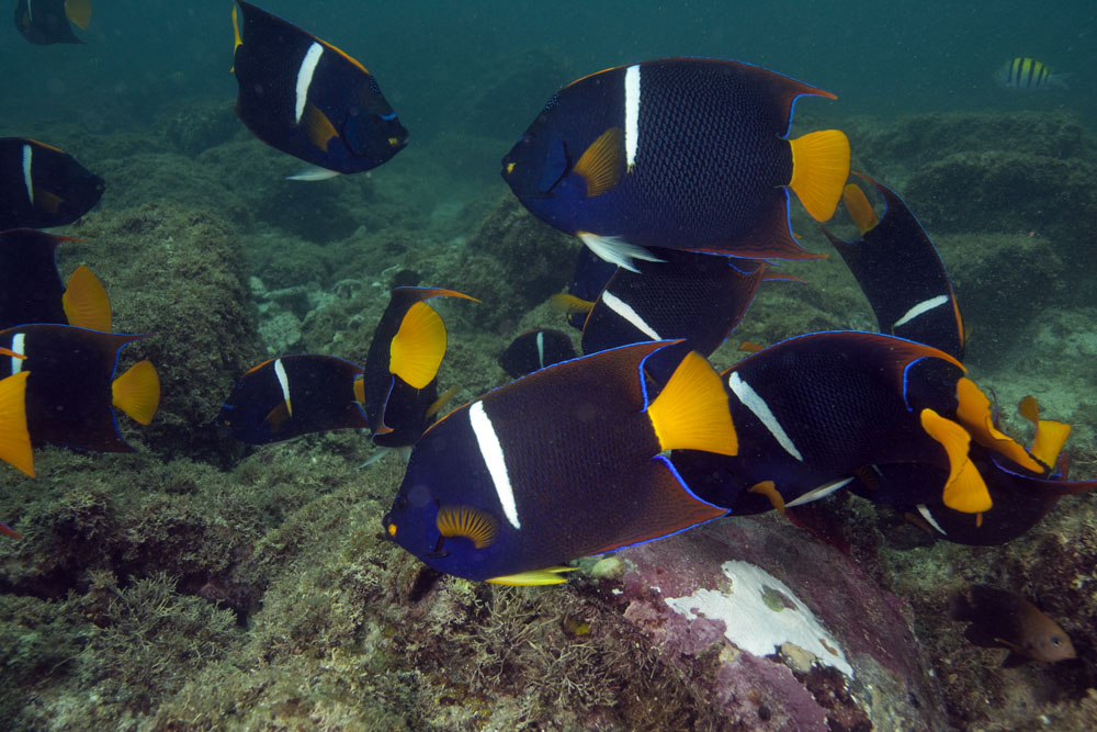 king angelfish feeding frenzy