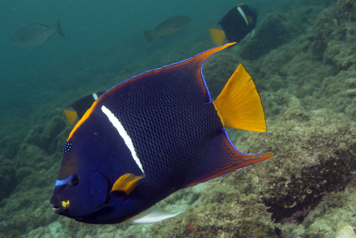 adult king angelfish