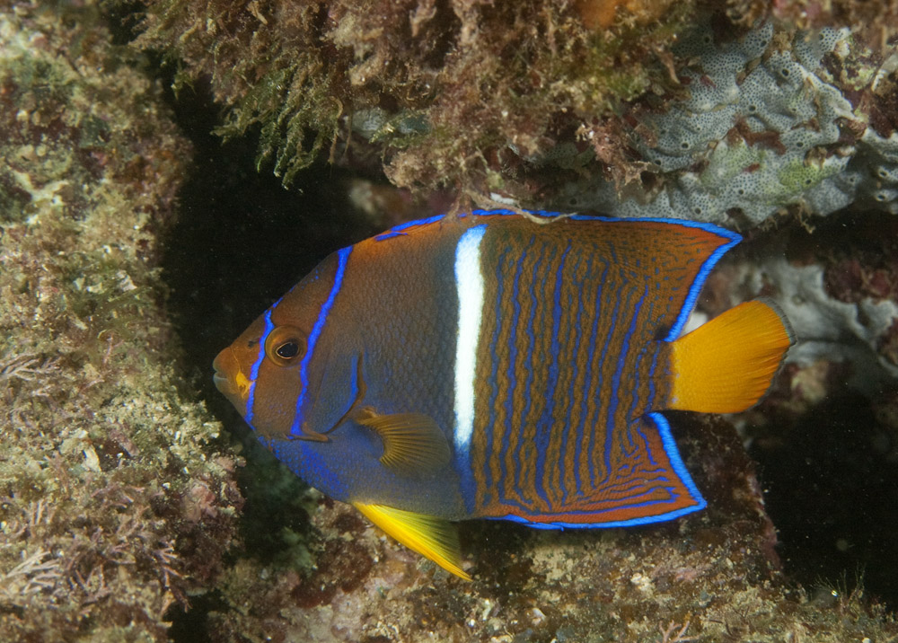 intermediate phase king angelfish