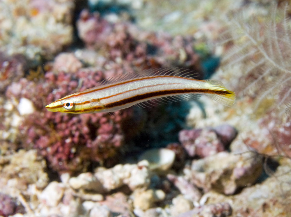 ring wrasse juvenile phase