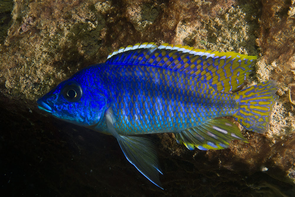 Lake Malawi cichlid at night