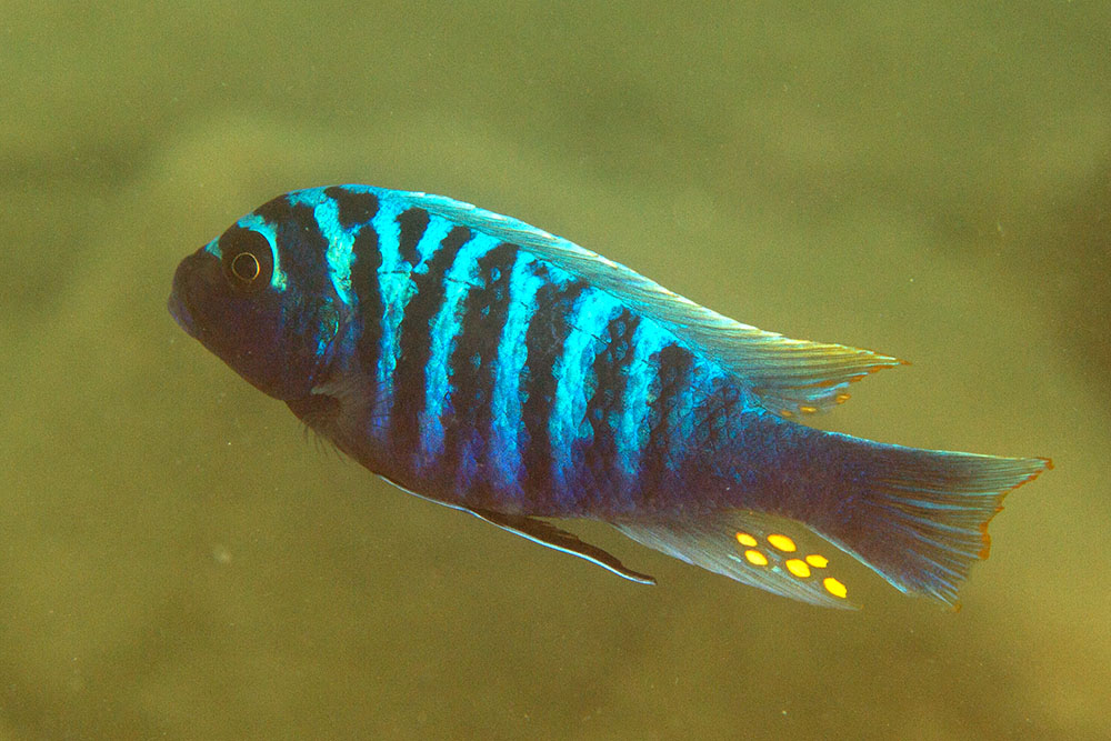 Male cichlid with egg spots on anal fin, Lake Malawi