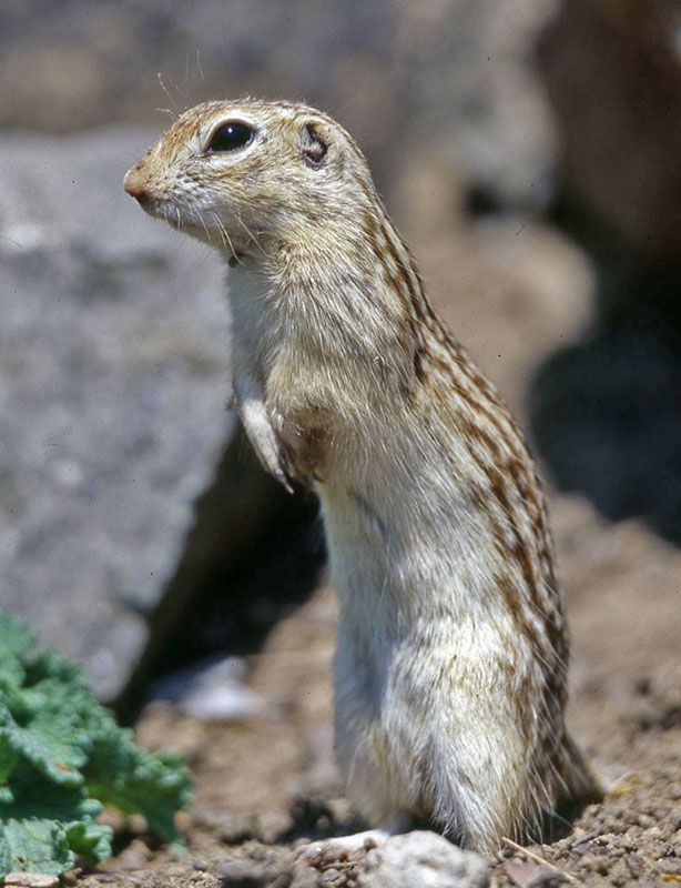 Ictidomys tridecemlineatus 13-lined ground squirrel
