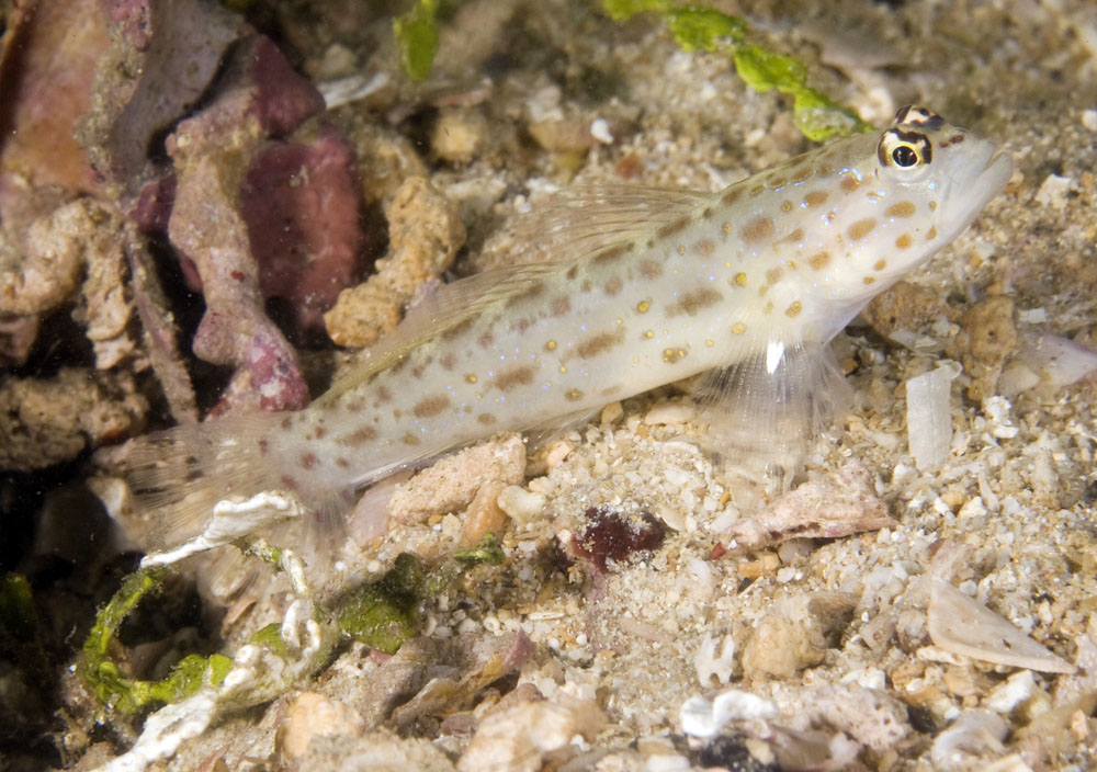 photo if isitgobius species