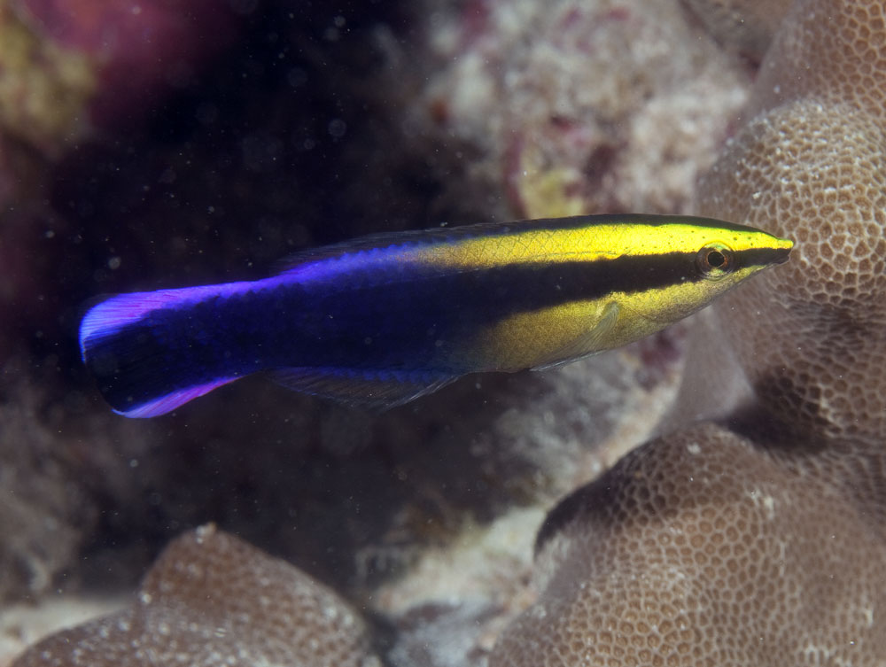 Hwaiian cleaner wrasse