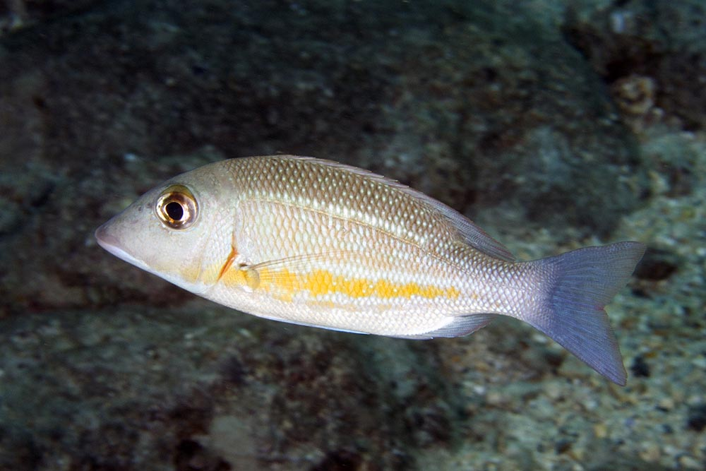 Lethrinus obsoletus Orange-striped Emperor, Somosomo Strait, Taveuni