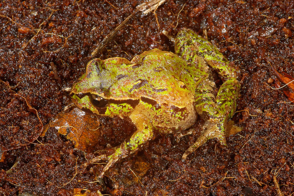 Archey's frog from above