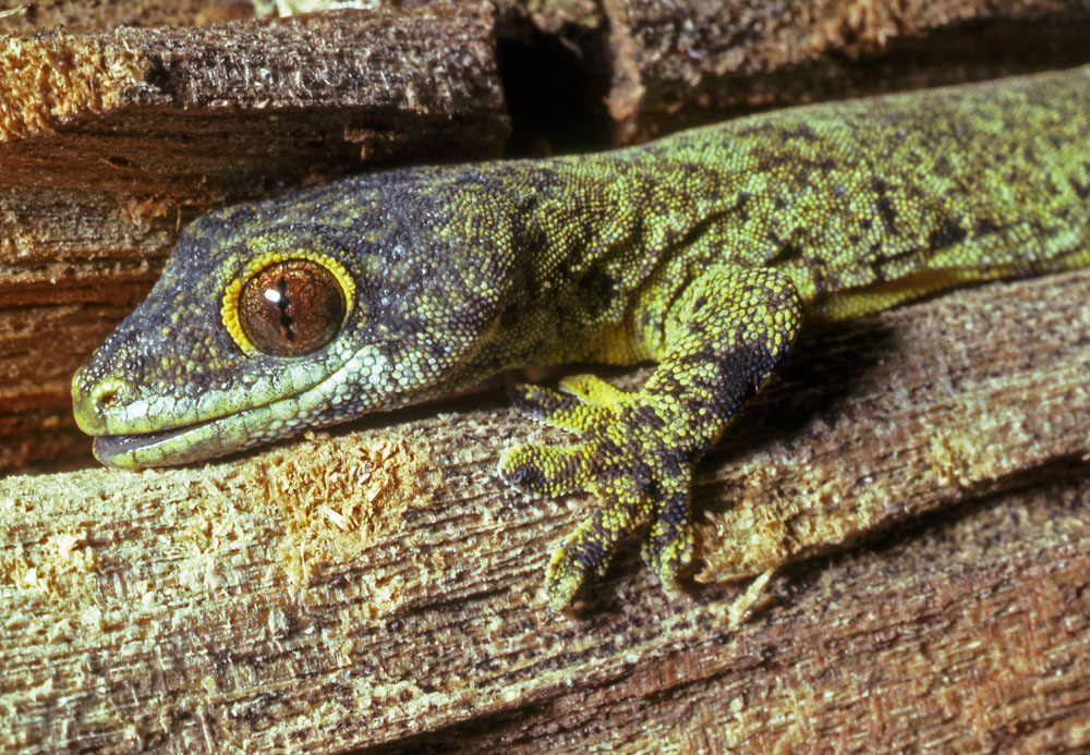 Rotuman forest gecko