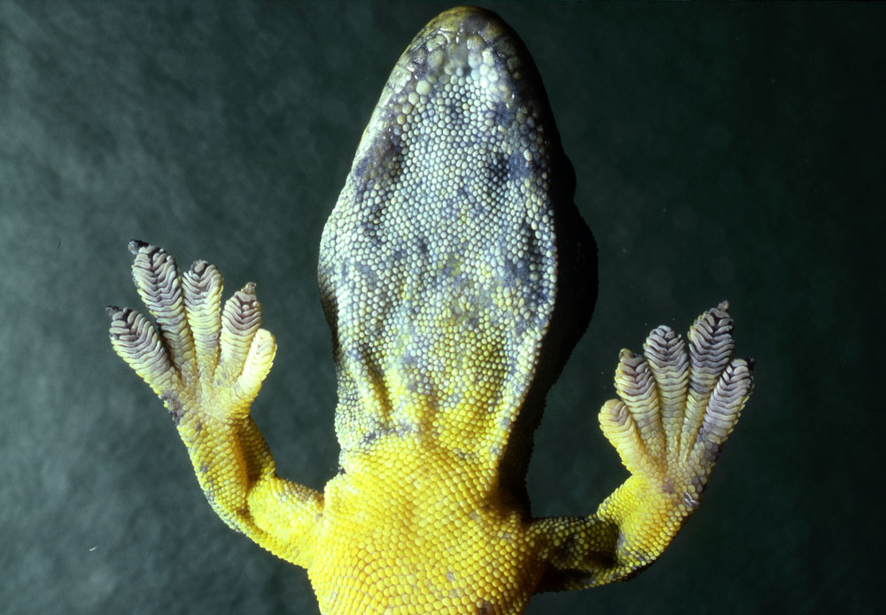 Endemic  Rotuman geck on glass