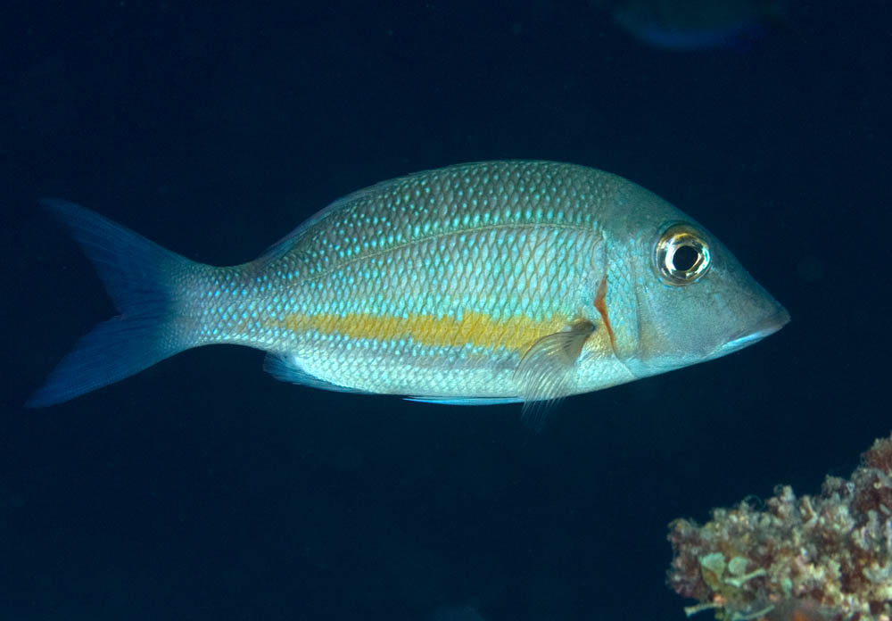 Lethrinus obsoletus Orange-striped emperor