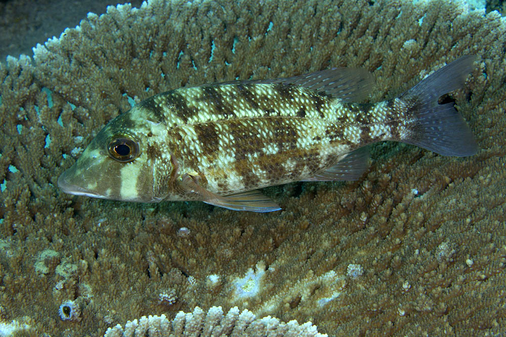 Lethrinus obsoletus Orange-striped emperor Blotched phase Raja Ampat