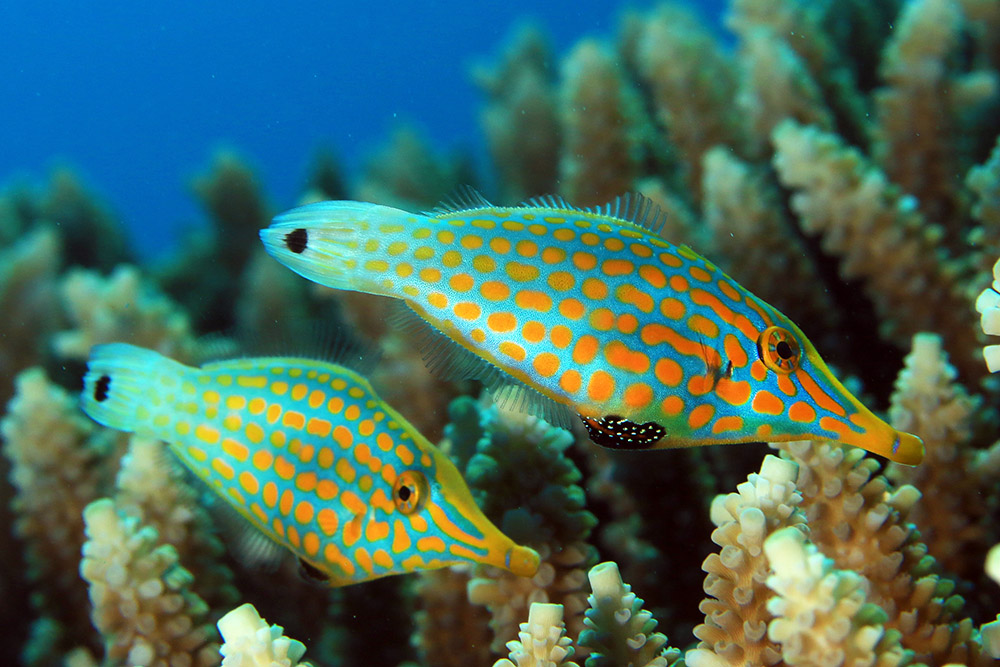 longnose filefish, Great Barrier Reef, Australia