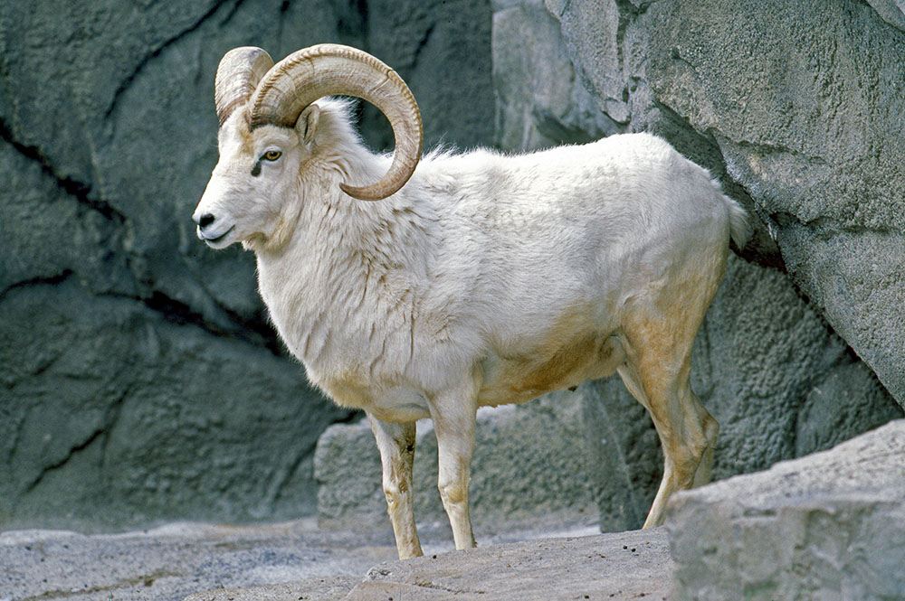 Ovis dalli Dall sheep