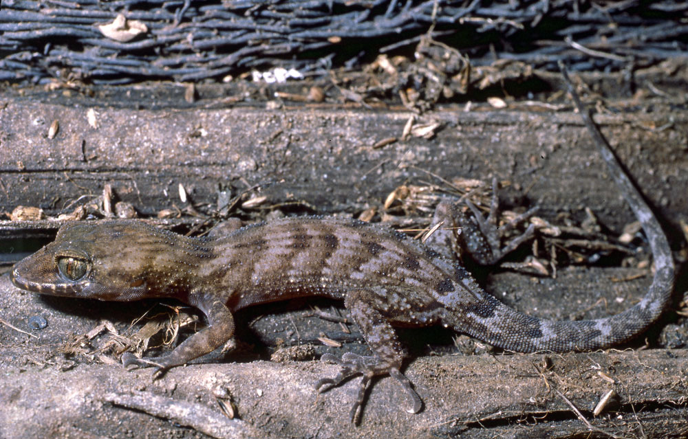 Pacific slender-toed gecko