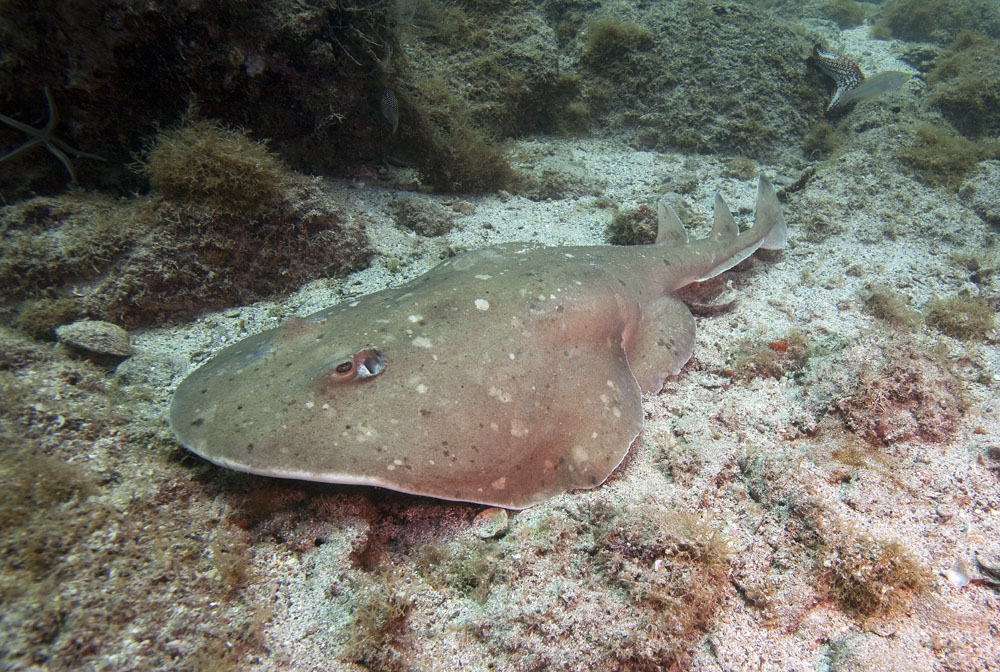 photo of giant electric ray