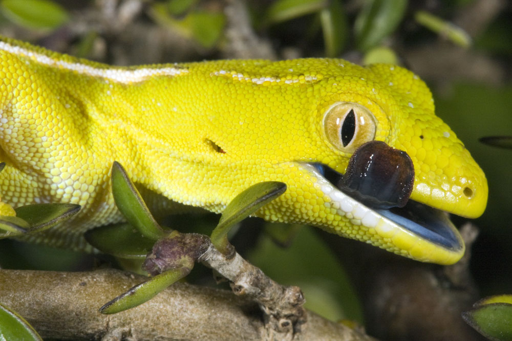 yellow gecko mouth open