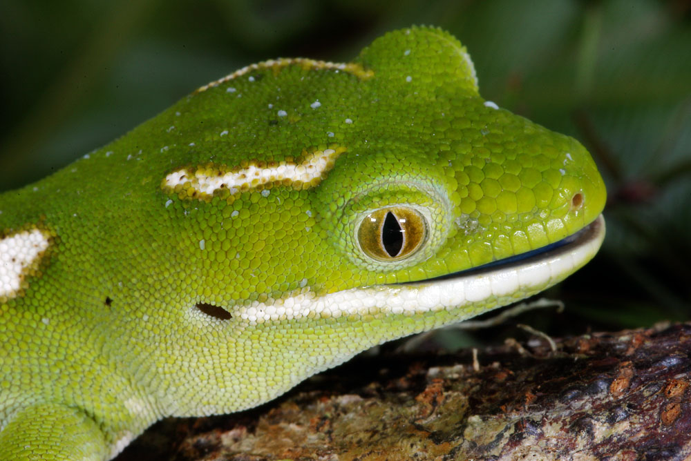 northland green gecko head shot