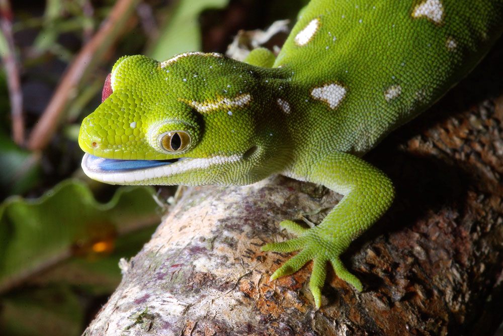 northland green gecko mouth open