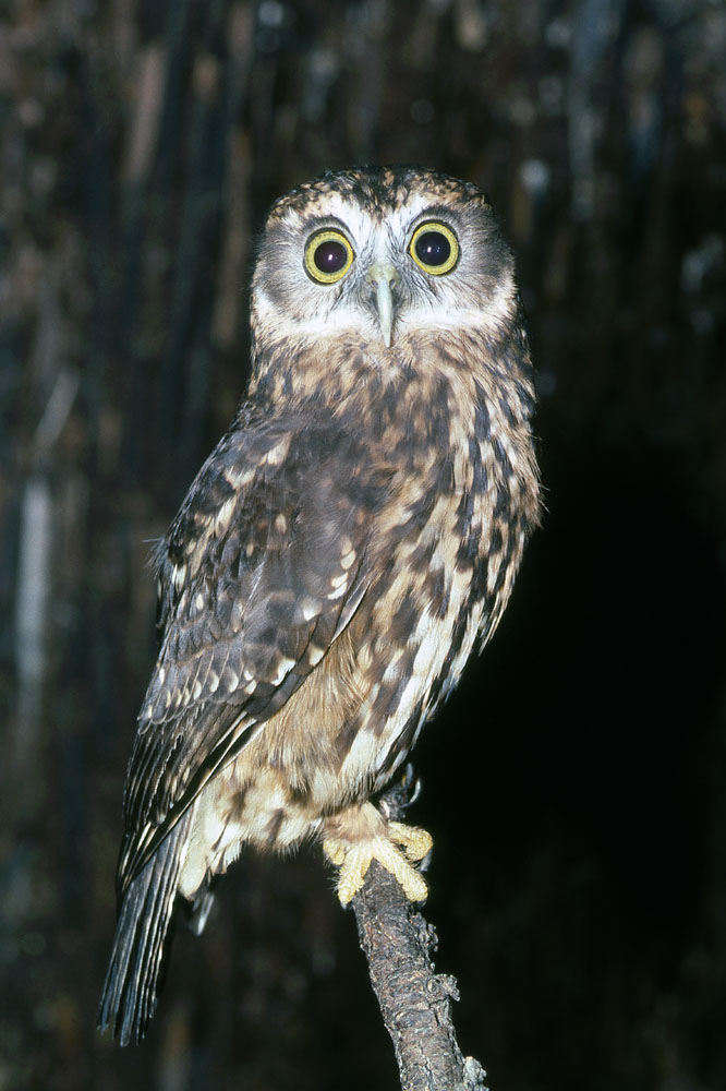 morepork or southern boobook owl