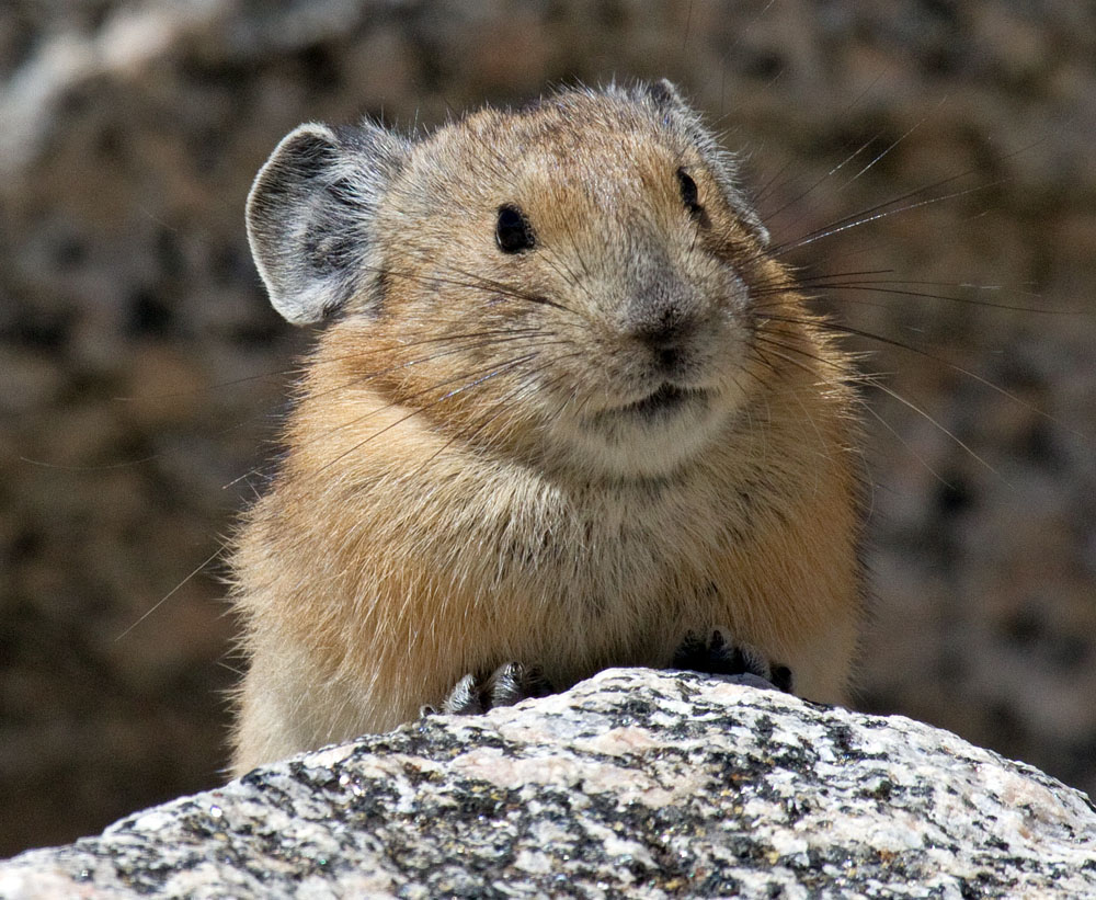 Pika, viewing photographer, Mt Evans